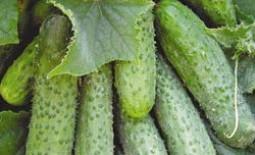 Огурец сорта Маша F1 — урожай без особых хлопот