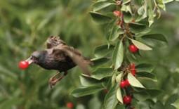 Как уберечь урожай черешни от птиц