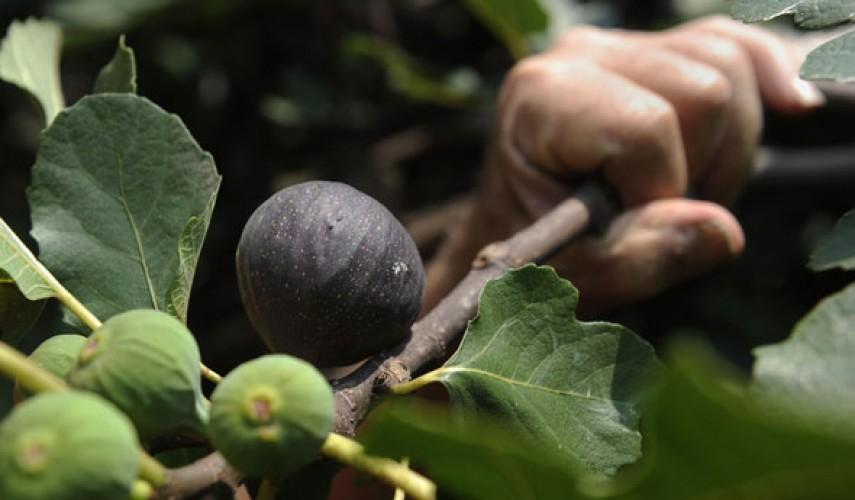 выращивание инжира