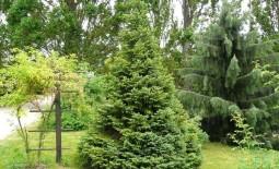 Ель сербская — необычная хвоя для сада. Описание, особенности, уход