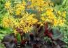 выращивание бузульника