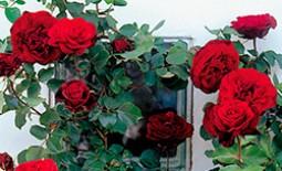 Роза плетистая Дон Жуан: особенности посадки, ухода и борьбы с вредителями