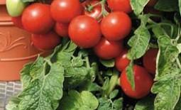 Томаты «Дубрава»: ранний сорт, компактный куст, вкусный урожай