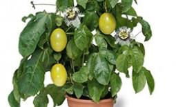 Маракуйя: особенности выращивания в домашних условиях