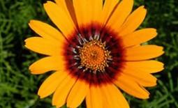 Урсиния: особенности выращивания в открытом грунте