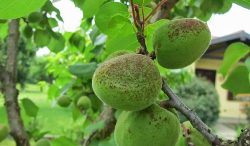 Болезни абрикоса