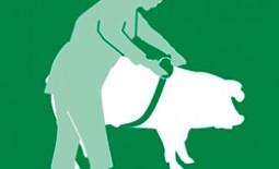 Сколько весит свинья: измерение веса