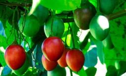 Что такое цифомандра: сортовой помидор или экзотическая ягода? Описание томатного дерева, особенности его выращивания в РФ