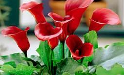 Каллы садовые: сортовое разнообразие и уход