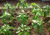 секреты выращивания сладкого перца