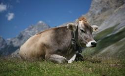 Уход за швицкой породой коров