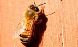 Пчелы породы Бакфаст — описание, достоинства, особенности