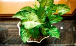 Как вырастить в домашних условиях красивую лиану сингониум