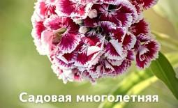 Садовая многолетняя гвоздика: выращивание, посадка и уход