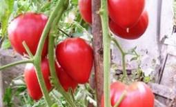 Восхитительный томат под названием Чудо земли