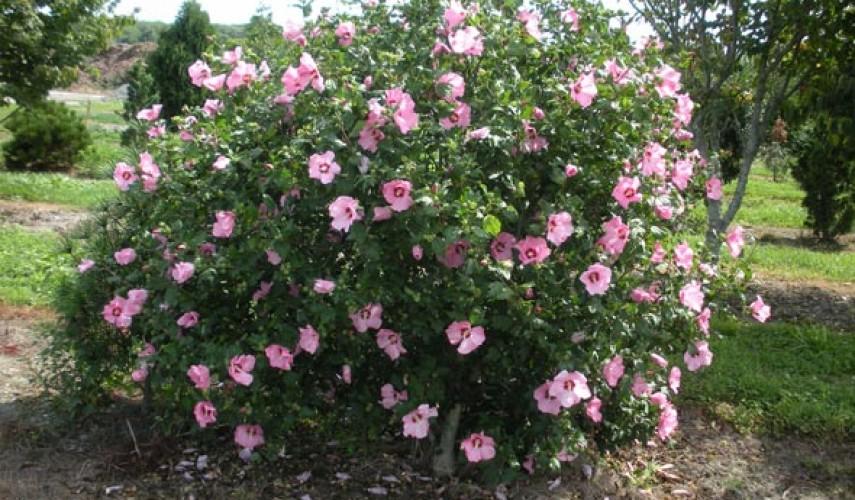 Выращивание гибискуса в саду