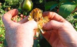 Как собрать семена георгин