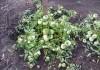 Сорт Монгольский карлик