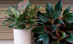 Как вырастить в домашних условиях красивую и здоровую аглаонему