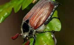 Майский жук: как бороться с ним и его личинками народными средствами и бытовой химией
