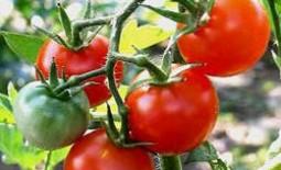 Как подкармливать помидоры дрожжами и другими народными средствами
