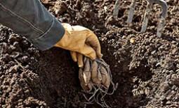 Как правильно высаживать клубни георгинов после зимовки