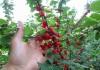 выращивание войлочной вишни