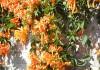выращивание жимолости декоративной