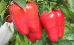 Перец Чудо-великан: секреты выращивания крупных плодов
