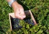 Выращивание черники