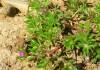 выращивание портулака