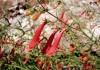 выращивание пенстемона