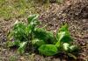 Выращивание корня хрена