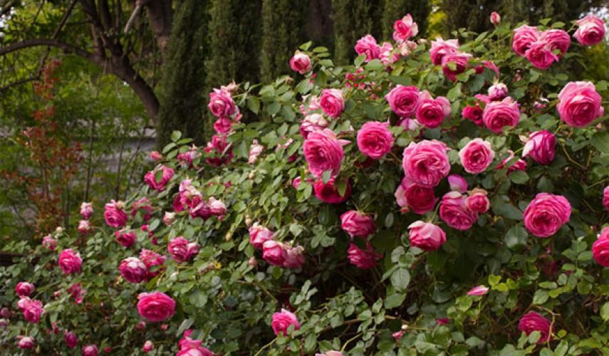 выращивание плетистой розы