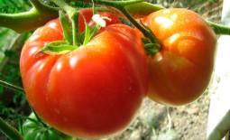 Помидорный сорт Чудо Алтая: характеристики томата, достоинства и недостатки, описание агротехники, отзывы