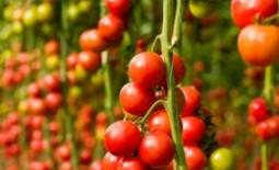 Описание и особенности выращивания помидоров черри, отзывы о томате