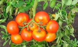 Красивый томат под названием Мисс мира F1: подробное описание, особенности выращивания, отзывы