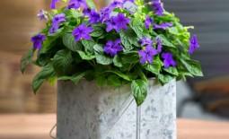 Как вырастить броваллию и добиться в домашних условиях ее долгого цветения