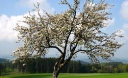 Чем удобрить яблоню весной для быстрого ее роста