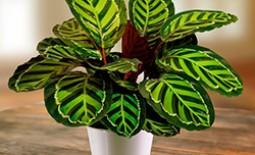 Экзотическая калатея в домашних условиях: как ухаживать за декоративным растением