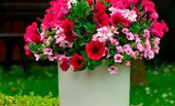 Особенности подкормки петуний: всё для того, чтобы цветы были крупными и красивыми