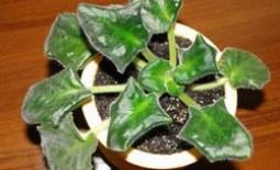 Скручивание листьев у фиалки — причины и их устранение