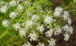 Что представляет собой растение болиголов