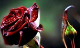 Популярные разновидности бордовых роз. Кому их дарят