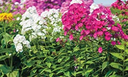 Уход за флоксами до наступления зимы – необходимость или «причуды» садоводов