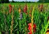 выращивание гладиолусов