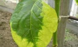 Почему желтеют листья у перцев в теплице