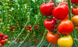 В чем отличия детерминантных томатных сортов от индетерминантных