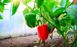 Как и чем подкормить перец для получения качественного урожая