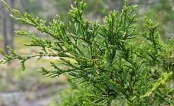 «Долгоиграющий» зеленый декор: описание можжевельника виргинского, использование растения в саду